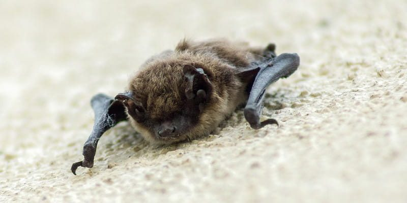 Bats Baby Bat Laying On A Piece Of Carpet