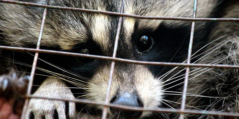 raccoon in a cage trap