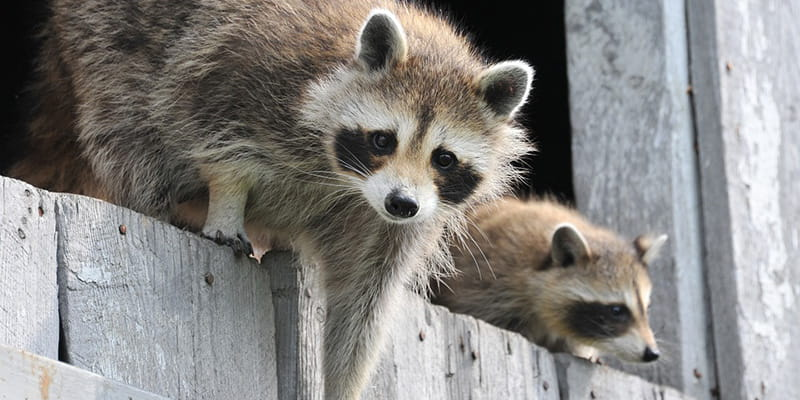 two raccoons climbing out of a barn opening
