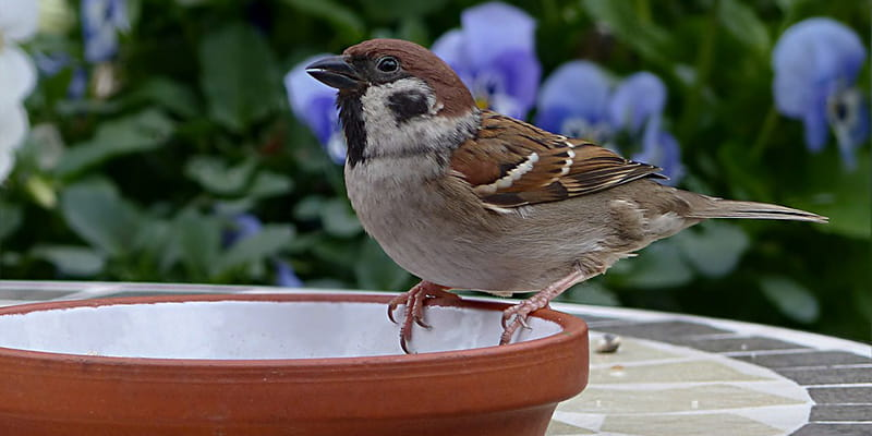 a sparrow sipping from a flower pot