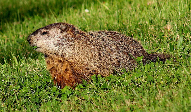 groundhog walking across a field of grass