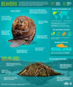 beavers infographic