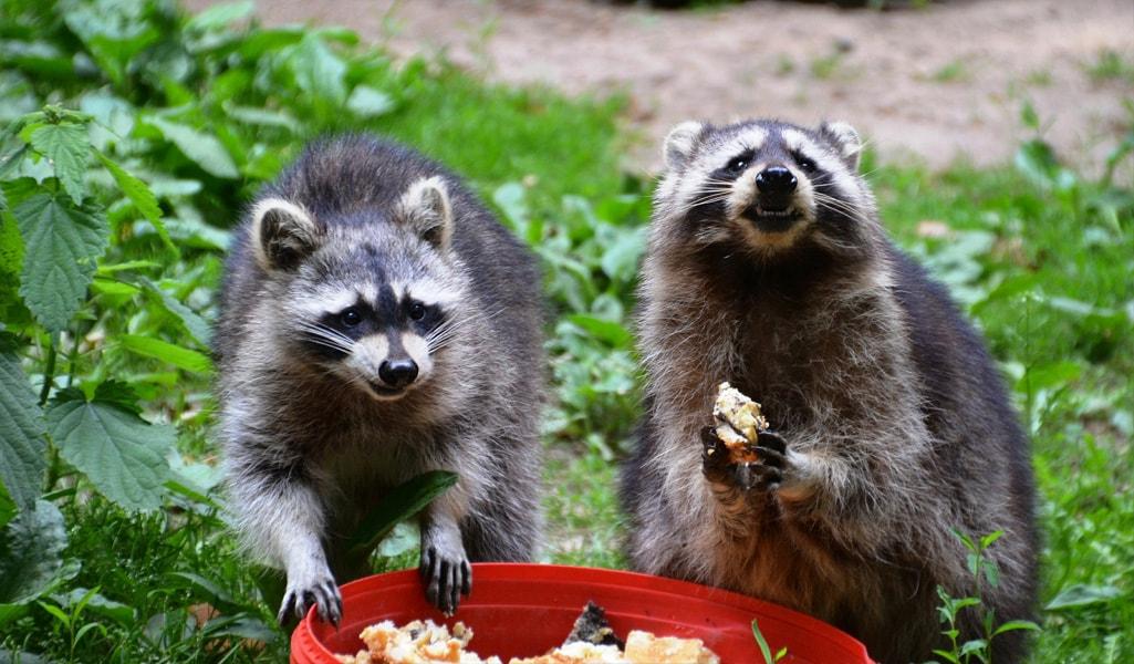Wildlife Control Ct Skunk Raccoon Amp Squirrel Removal